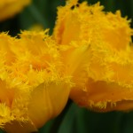 "<span itemprop=""name"">Tulpen-speciaal-geel</span>"